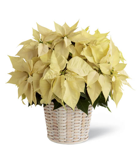 WhitePoinsettia Basket (Large)