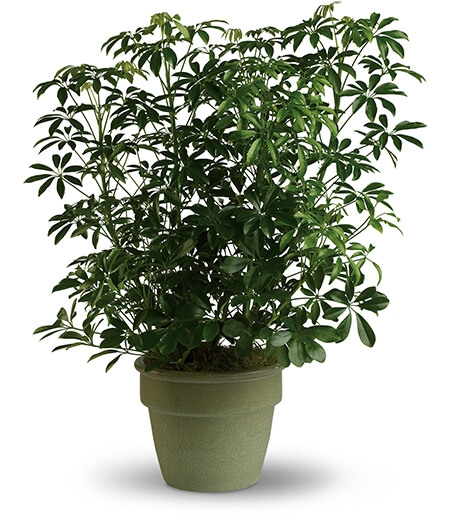 Funeral plants for House plant easy to take care