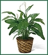 The Spathiphyllum, or more commonly known as the Peace Lily, is a beautiful plant to help convey your wishes for tranquility and sweet serenity. An ideal gift for most occasions, this lush plant displays white conical blooms perfectly presented in a round woven container to make it a natural fit for any interior decor. 8